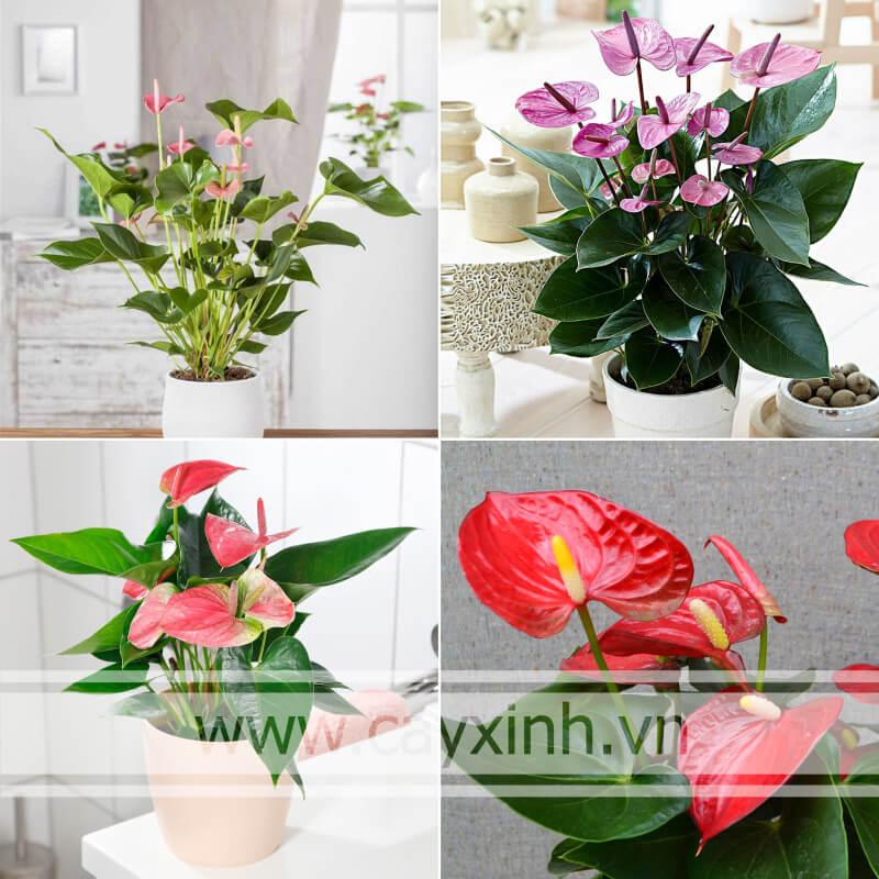 Cây Hồng Môn ra hoa