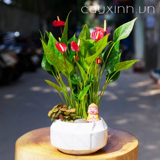 cây hồng môn 03
