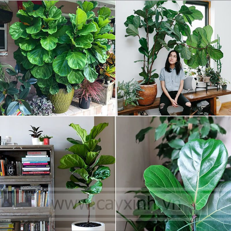 cây bàng singapore 4