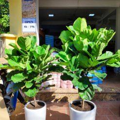 cây bàng singapore phong thủy