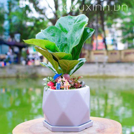 cây bàng singapore 04