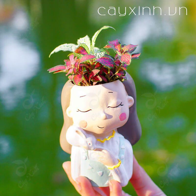 cây cẩm nhung 06