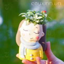 cây cẩm nhung 07
