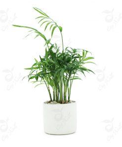 cây cau tiểu trâm