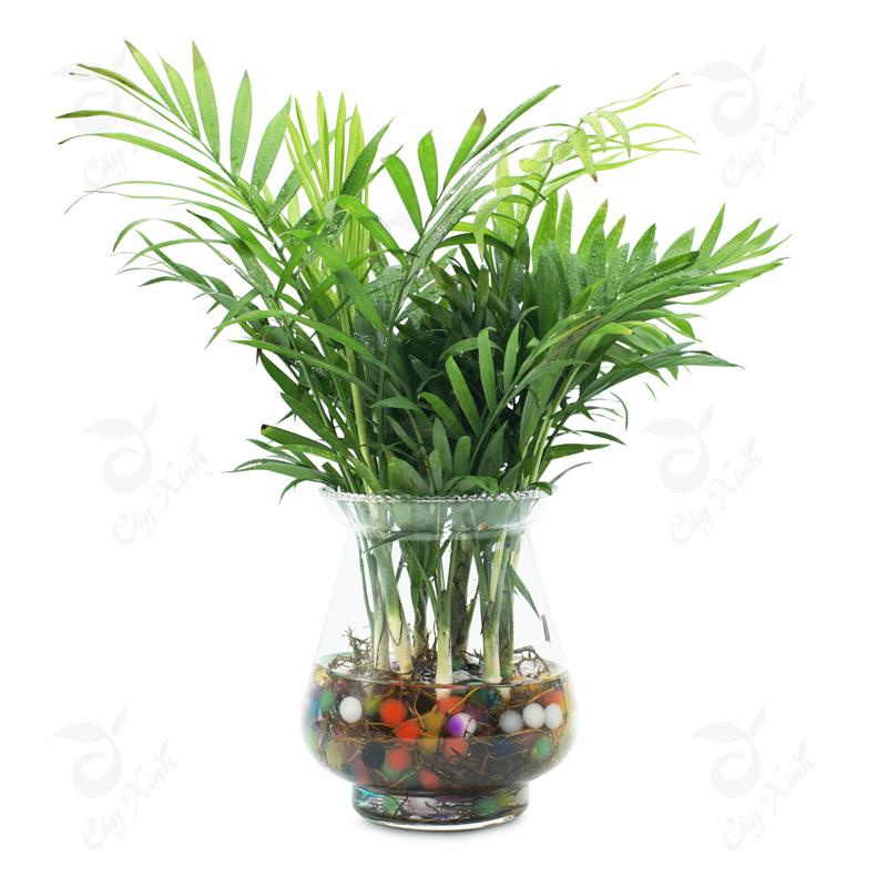 cây cau tiểu trâm thủy sinh