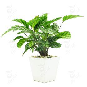 cây đuôi công xanh