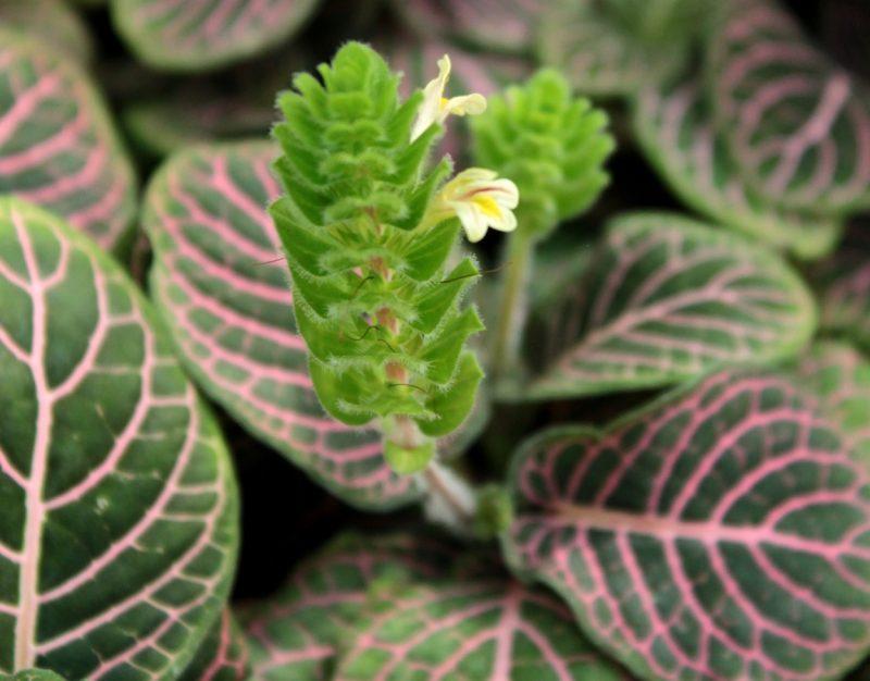 cây hoa cẩm nhung