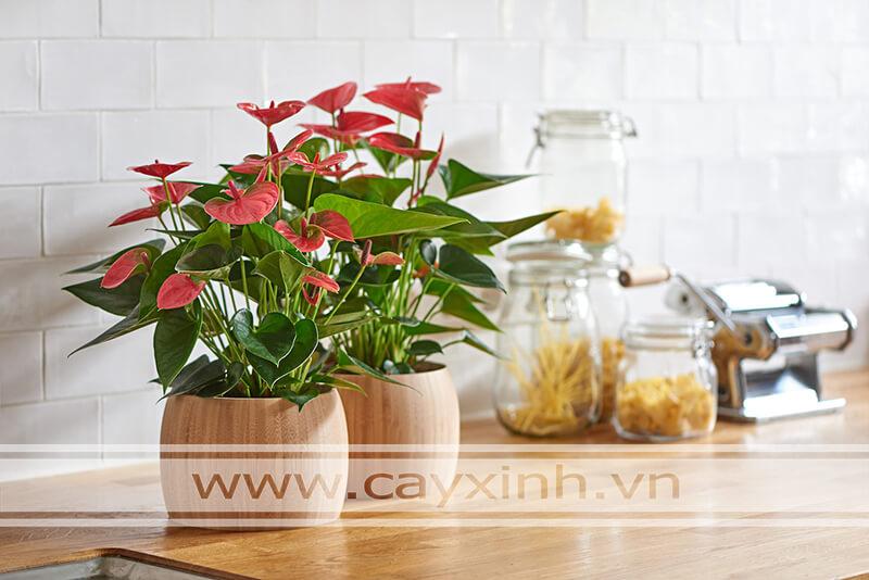 cây hồng môn trồng trong nhà