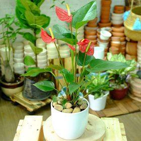 cây hồng môn để bàn