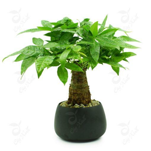 cây kim ngân phong thủy
