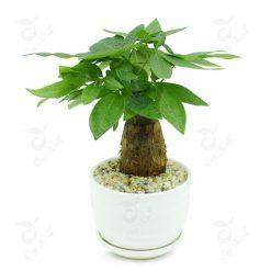 cây kim ngânđể bàn