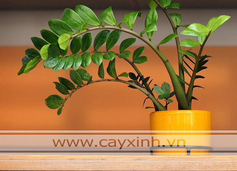 Cây Kim Tiền Phong Thủy 28092019
