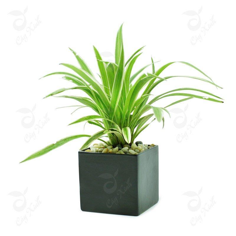 cây lan chi