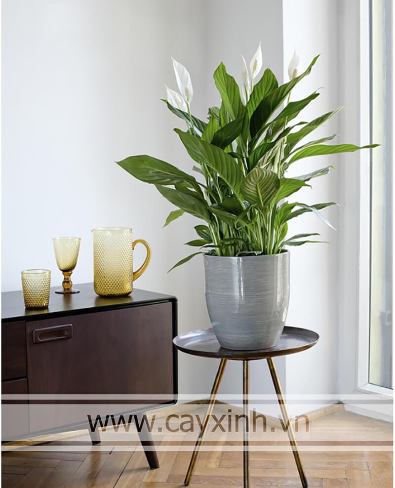 cây lan ý trồng trong nhà đẹp