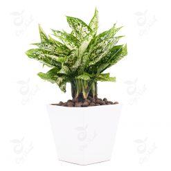 cây ngọc ngân