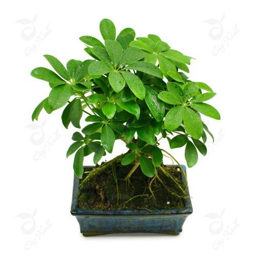 cây ngũ gia bì bonsai