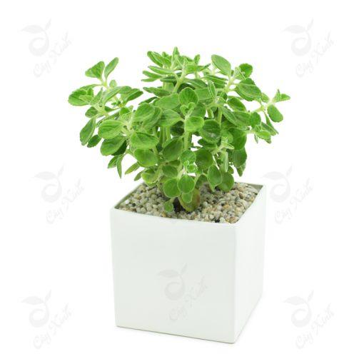 cách trồng cây nhất mạt hương