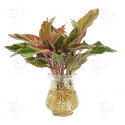 cây phú quý thủy canh để bàn