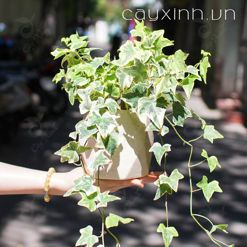 cây thường xuân 02