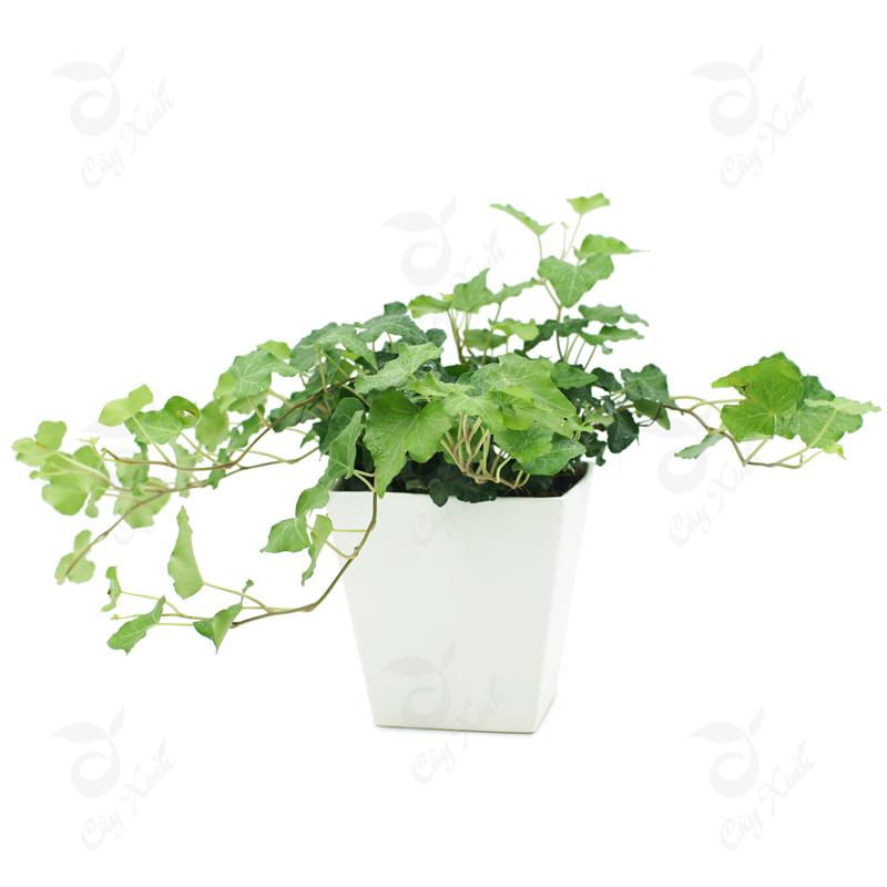 Kết quả hình ảnh cho cây  thường xuân
