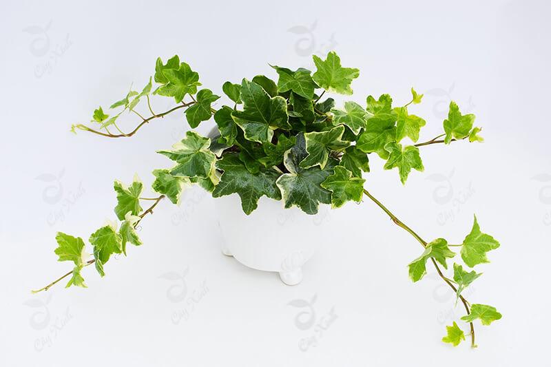 cây thường xuân có độc