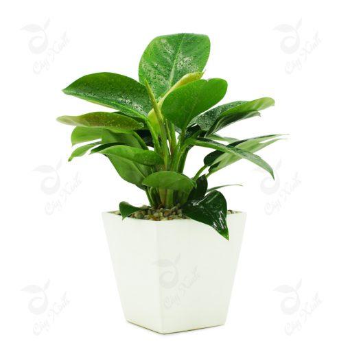 cây trầu bà đế vương xanh
