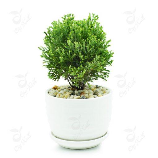 cây tùng bồng lai