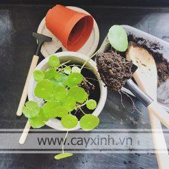cách chăm sóc cỏ đồng tiền