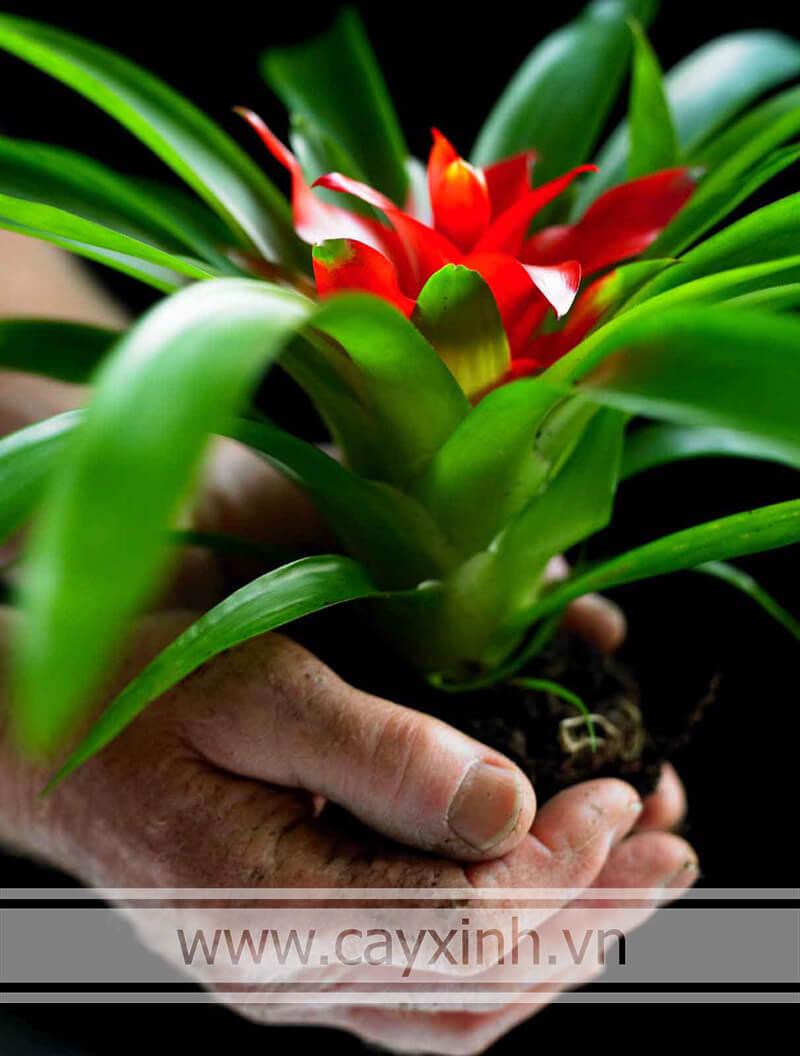 đất trồng cây phong lộc hoa