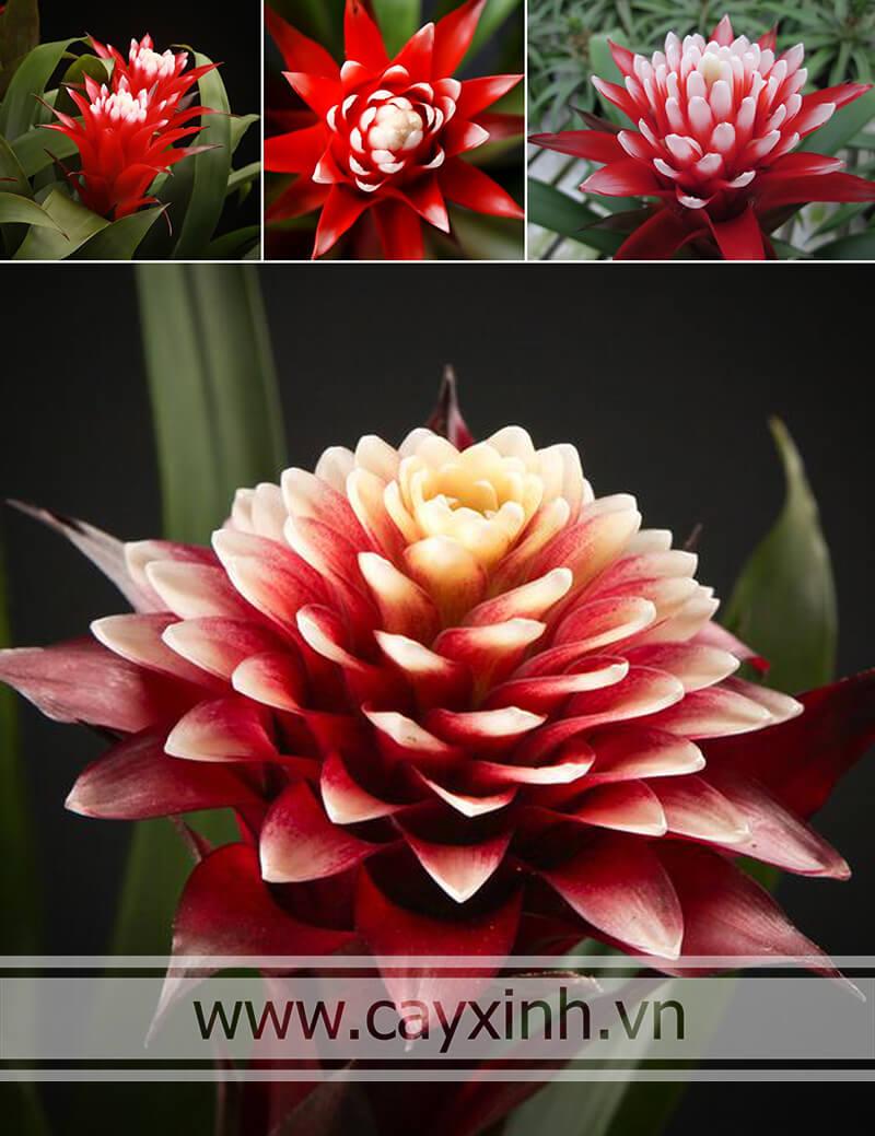 cây phong lộc hoa cho hoa
