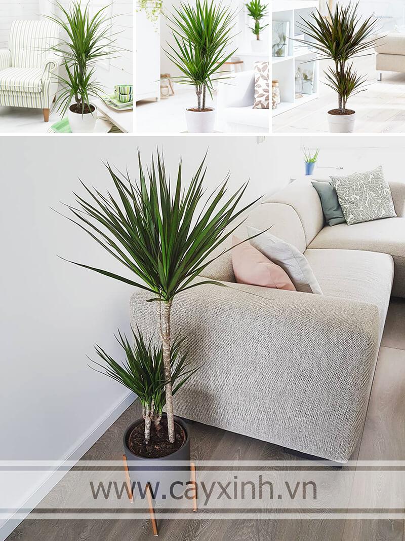 cây phất dụ mảnh trang trí phòng