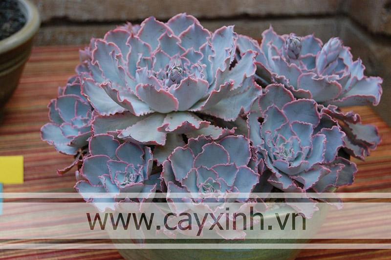 sen đá bắp cải tím là loại cây chịu hạn