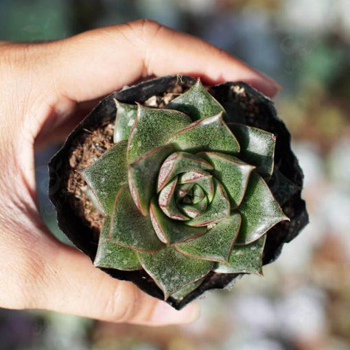 sen đá hoa hồng đen