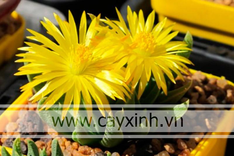 hoa sen đá cỏ ngọc