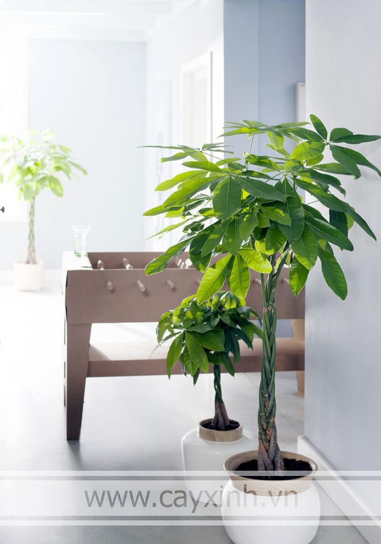 cây kim ngân trồng trong nhà