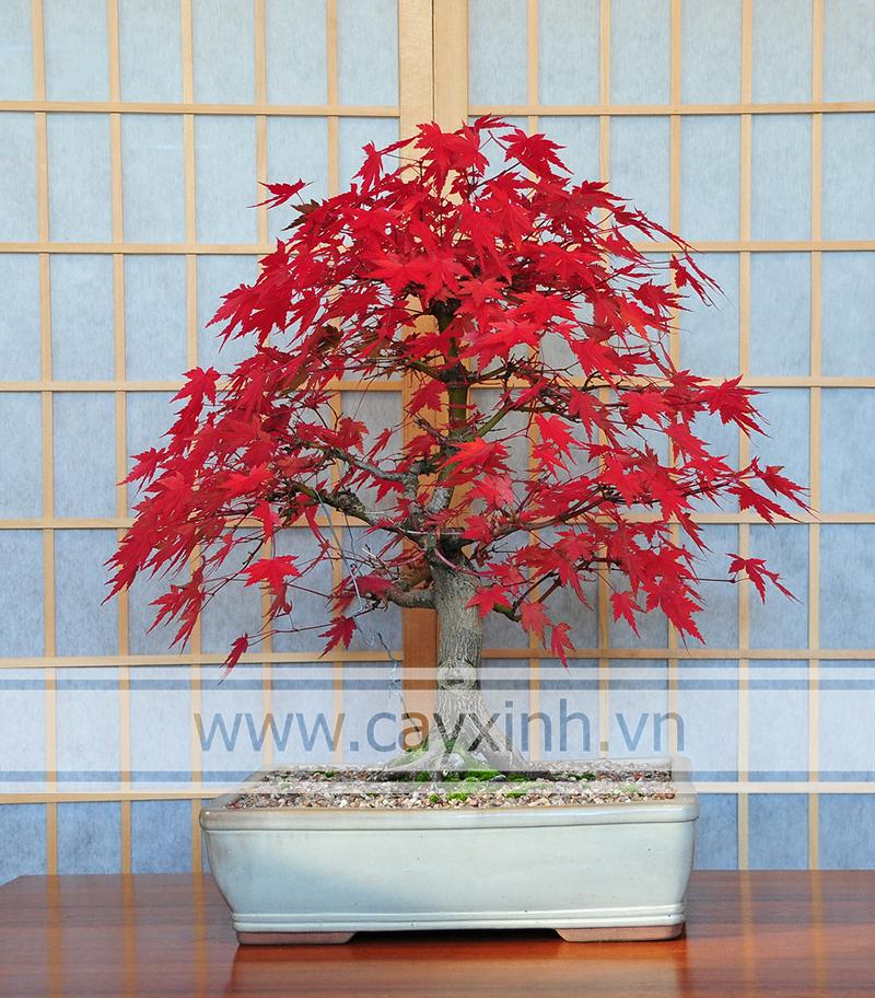 phong lá đỏ bonsai