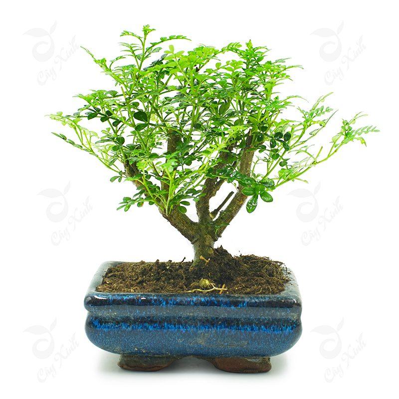 cây cần thăng