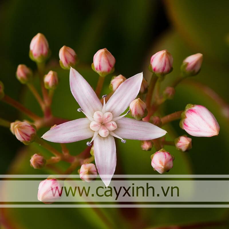 Cây Ngọc Bích ra hoa