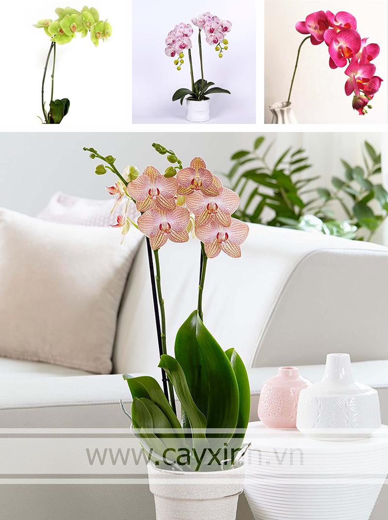 lan hồ điệp trồng trong nhà