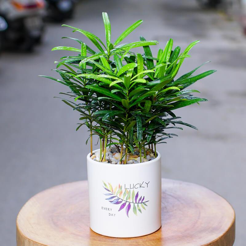 Tùng la hán mini - Cách trồng và chăm sóc tùng la hán mini