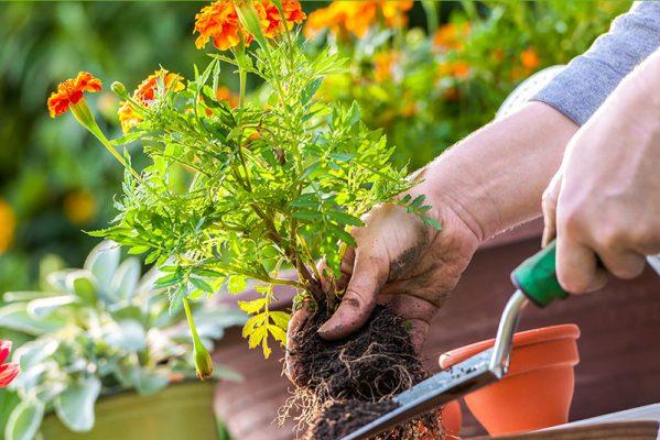 Hướng dẫn chi tiết cách trồng và chăm sóc cây cảnh để bàn