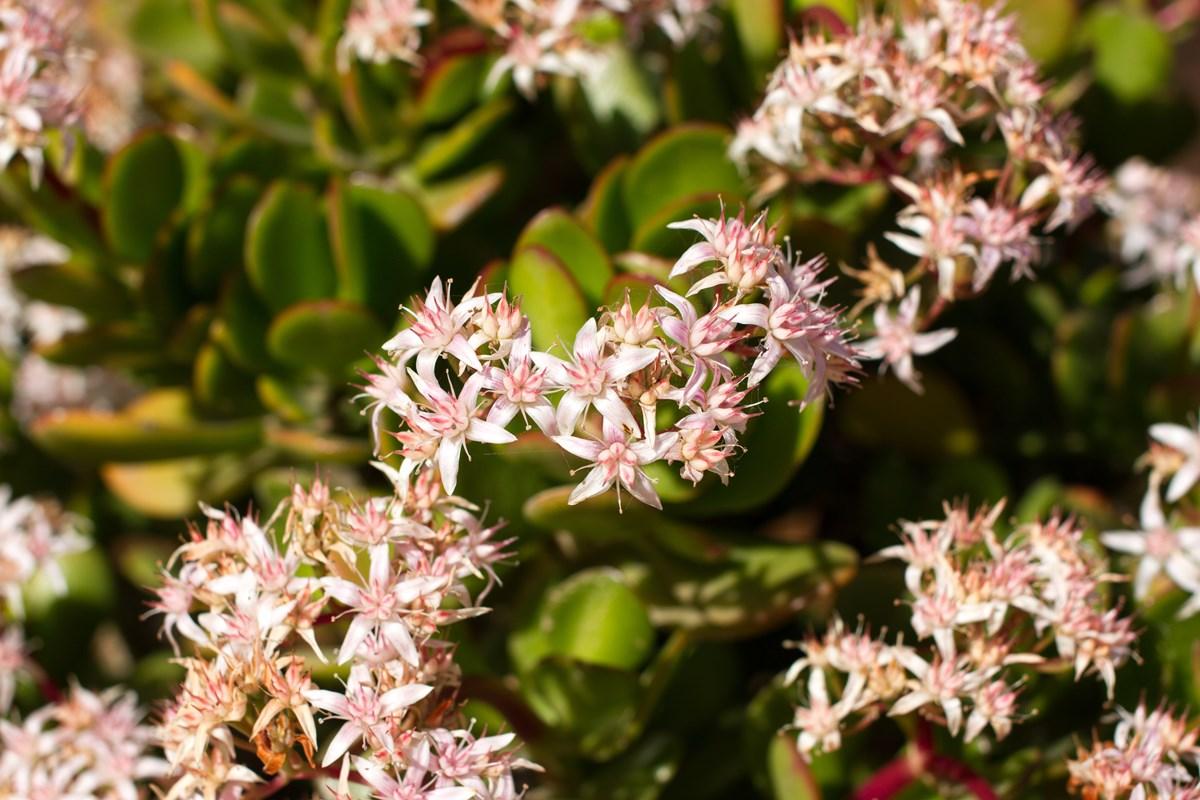 hoa cây ngọc bích