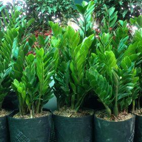 tác dụng khi trồng cây kim tiền trong nhà