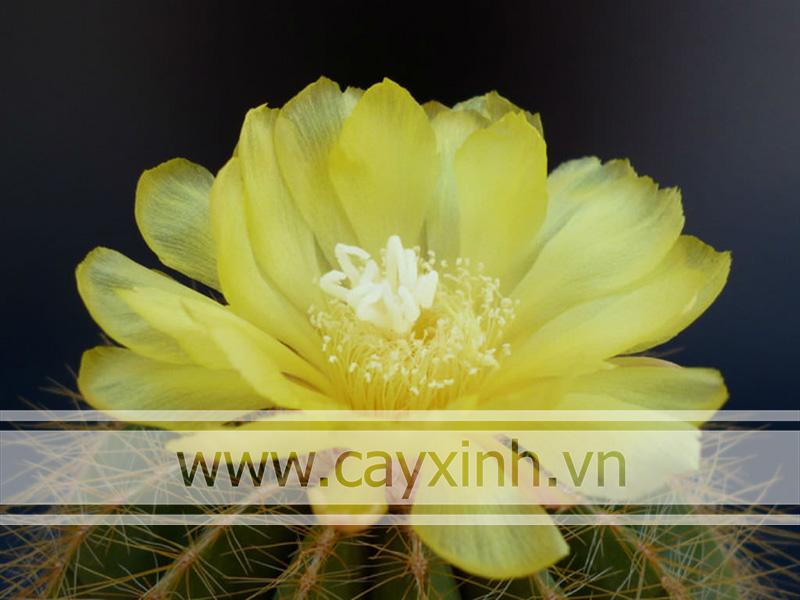 hoa của xương rồng bóng bụi vàng