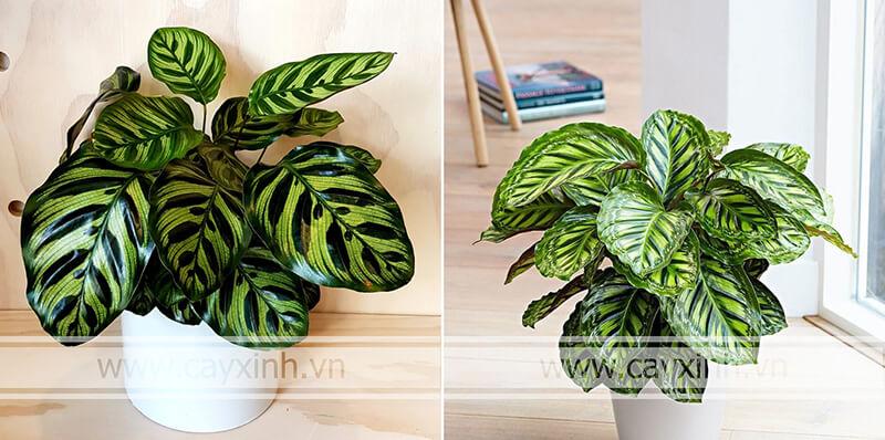 Cây kích thước thấp dễ dàng trồng trồng trong nhà