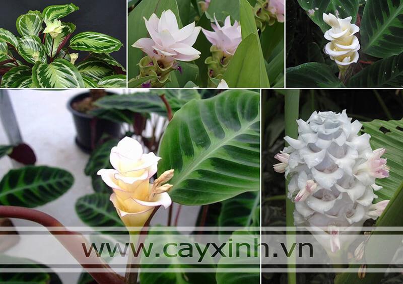 Hoa cây Đuôi Công