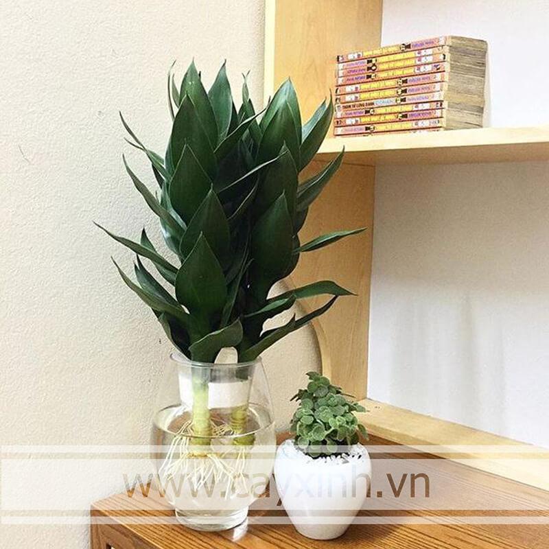 Cây Phát Lộc trồng trong nhà