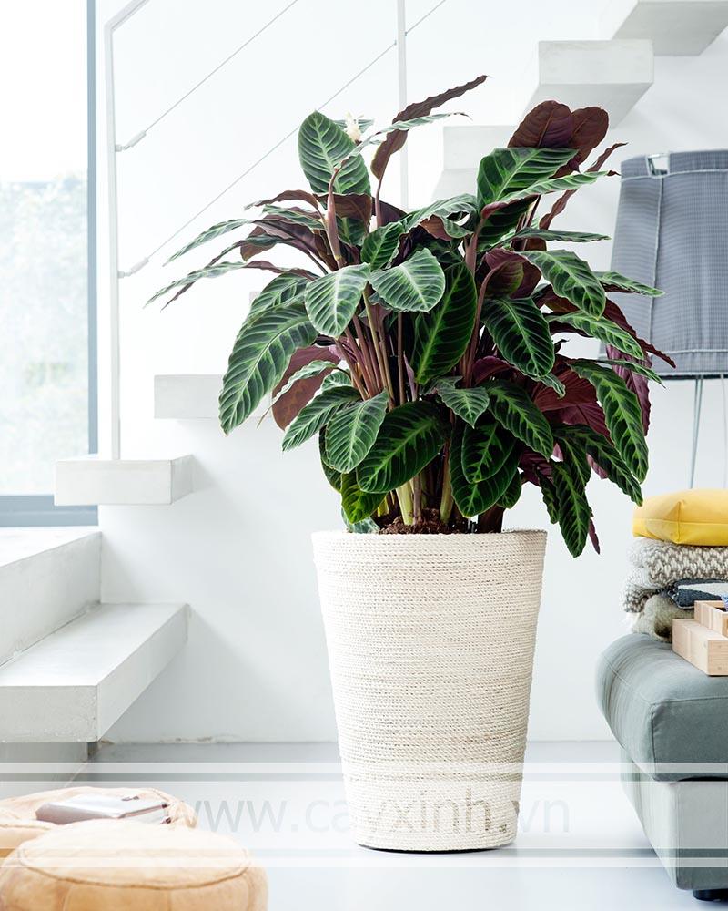 cây đuôi công tím trồng trong nhà mang lại bầu không khí trong lành