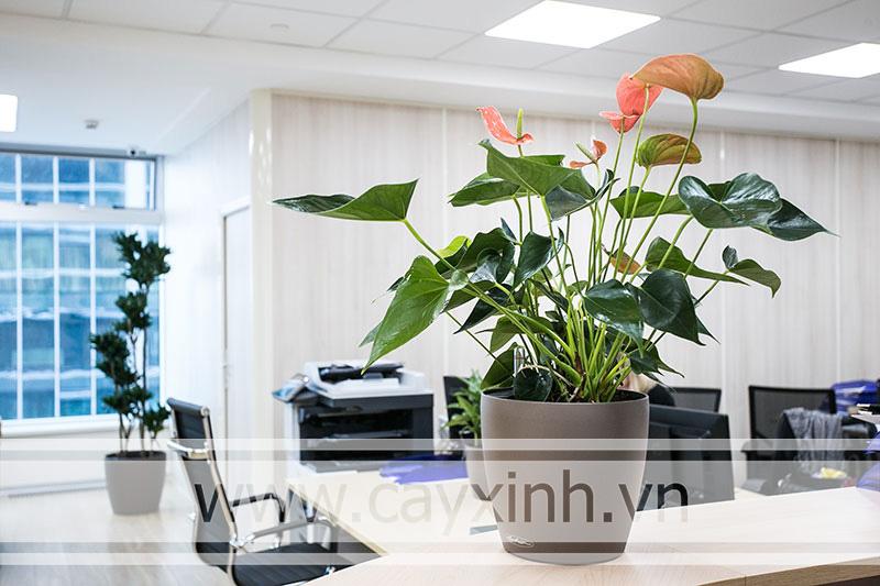cây hồng môn văn phòng