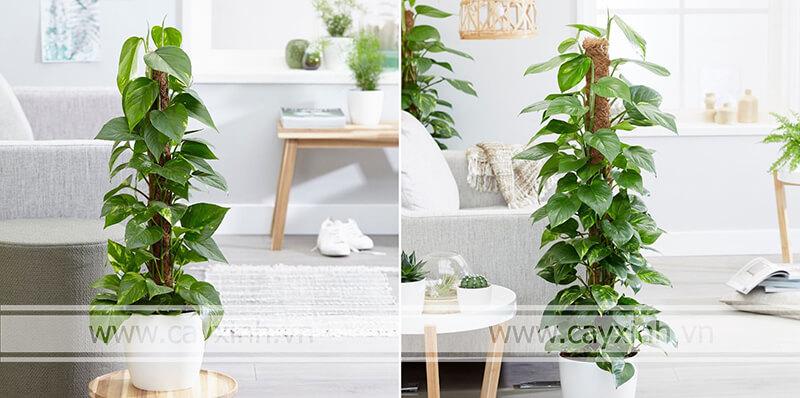 các laoị cây trồng tahnh lọc không khí trong nhà